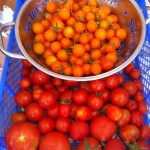 Glut of Tomatoes