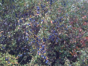 Sloe Berries on a Blackthorn Bush